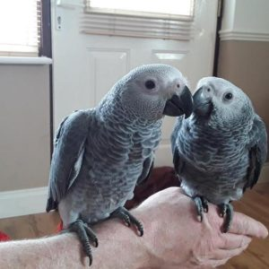 Young Congo African Grey For Sale