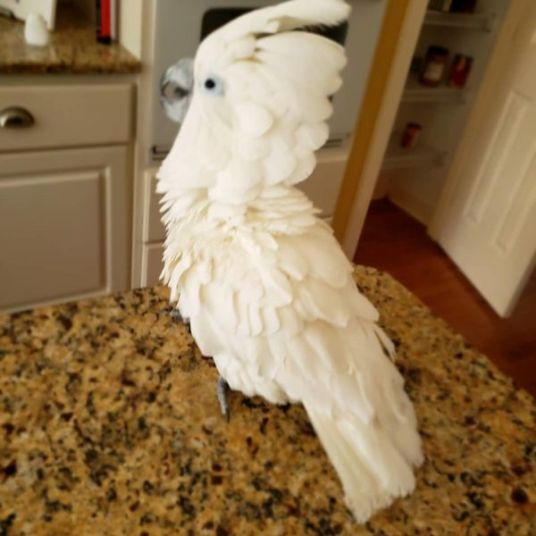 Bare-Eyed Cockatoo (Little Corella Cockatoo) For Sale