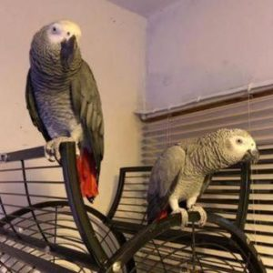 Beautiful Pair of Young African Greys For Sale