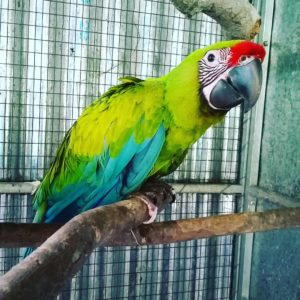 Buffon/Great Green Macaws For Sale