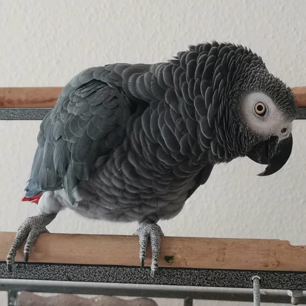 Congo African Grey For Sale