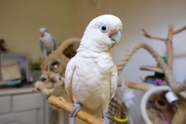 Goffin's Cockatoos ( Tanimbar Corella ) For Sale