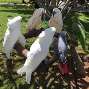 Goffin's Cockatoos ( Tanimbar Corella ) For Sale
