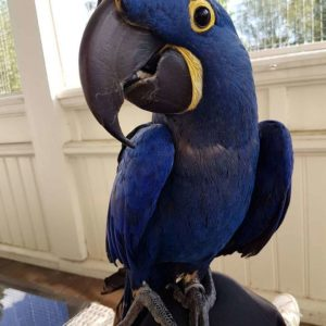 Adorable Hyacinth Macaws For Sale