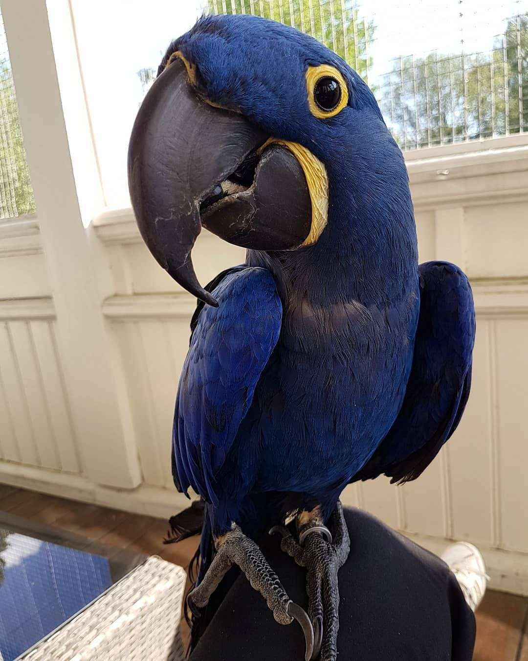 Adorable Hyacinth Macaws For Sale – Terry's Parrot Farm
