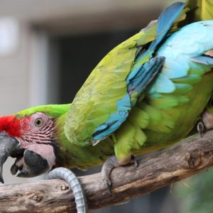Playful Military Macaws For Sale