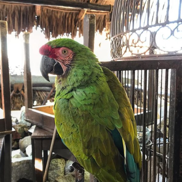 Military Macaws For Sale