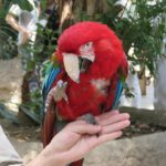 Green-Wing (Red And Green) Macaws For Sale