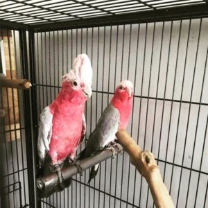 Rose-Breasted Galah Cockatoos For Sale