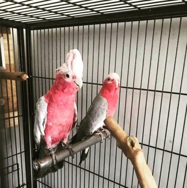 Rose-Breasted Cockatoo (Galah) Cockatoo For Sale