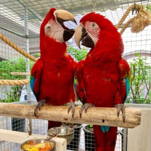 Lovely Scarlet Macaws For Sale