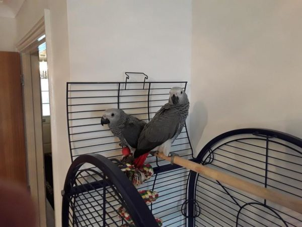 Baby Congo African Grey For Sale