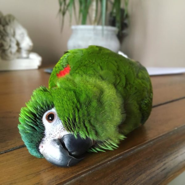 hahns macaw for sale.