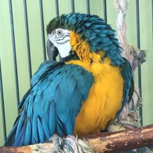 Blue And Gold Macaw Offer