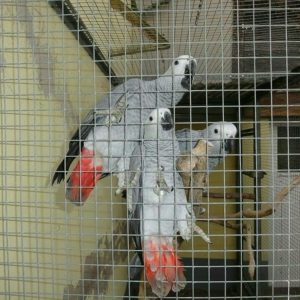 Young African Grey Parrots for sale