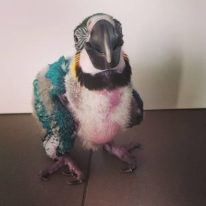 Baby Blue and Gold Macaw For Sale