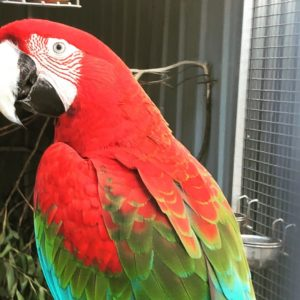 Green-Wing Macaws For Sale