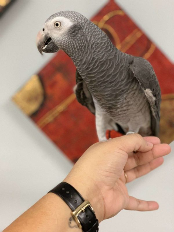 Lovely African grey for sale