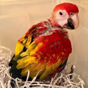 Baby Scarlet Macaw For Sale