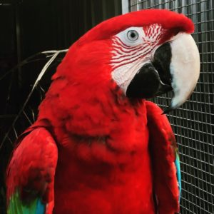 Cute Scarlet Macaws For Sale