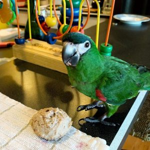 Adorable Hahns Macaws For Sale